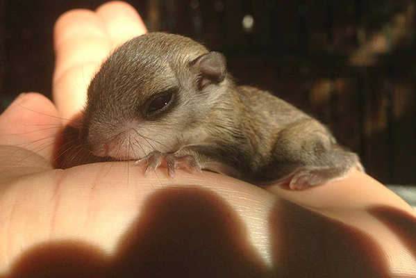 Rescued Flying Squirrel