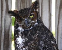 Columbo the Great Horned Owl