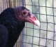 Cookie the Turkey Vulture