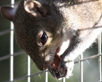 Daisy the Eastern Gray Squirrel