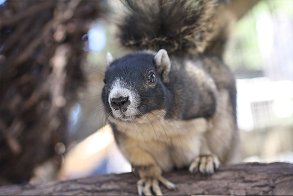 Nigel the Fox Squirrel