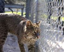 Jaggar the FL Bobcat