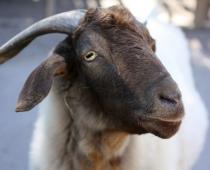 Jennifer the Goat