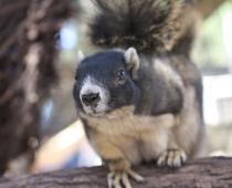 Nigel the Sherman's Fox Squirrel