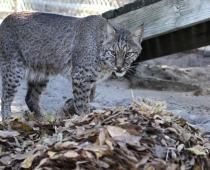 Oliver the Bobcat