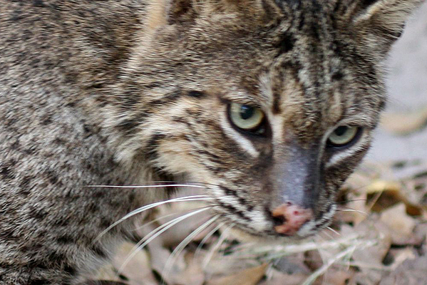 Jagger the Bobcat