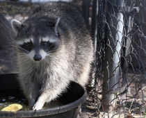 Precious the Raccoon