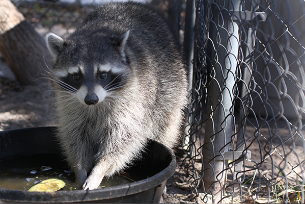Precious the raccoon.