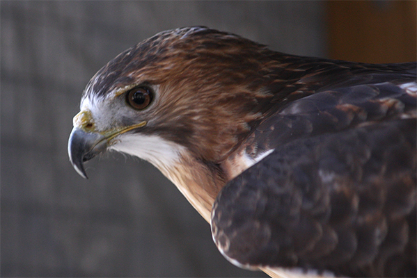 Tarot the red tailed hawk