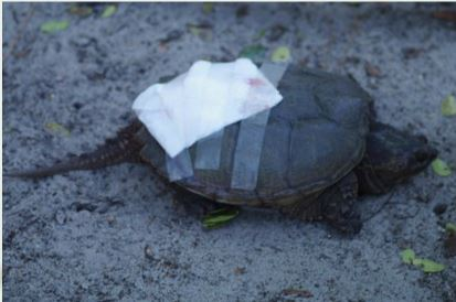 Injured Florida Snapping Turtle