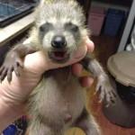 BTN Baby Oppossum