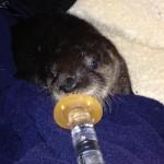 BTN Otter Feeding
