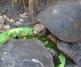 Hercules the Red Foot Tortoise