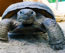 Crash the Gopher Tortoise
