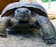 Crash the Gopher Tortoise