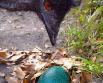 Koko the Emu