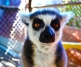 Lemurs: Honeybear, Whimsa and Thumbelina