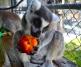 Lemurs: Honeybear, Whimsa and Thumbelina