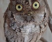 Wheems the Eastern Screech Owl