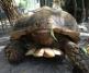 Athenos the African Tortoise