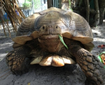 Athenos the African Tortoise
