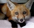 Red Fox Pup Rescue from Storm Drain