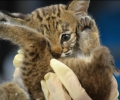 Orphaned Bobcat