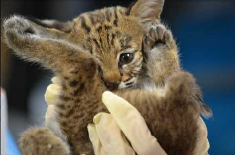 Orphaned Bobcat