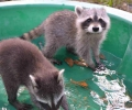 "Did you know that BTN has a ""Raccoon Rehab Fund?"""