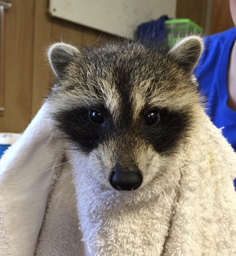 Please call ahead for raccoon intakes..